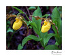 Yellow Lady's-slipper (Cypripedium calceolus)