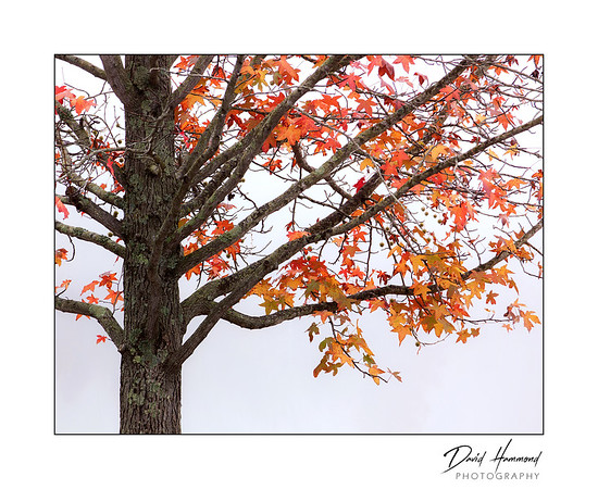 Sweet Gum in Fog