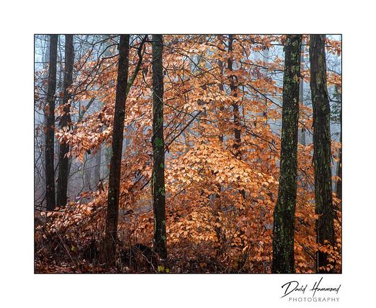 Late Autumn Beech