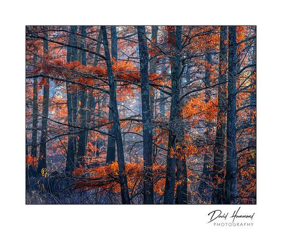 Autumn Cypress II