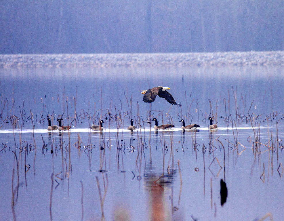 Bald Eagle over Geese     Photo #: 2382