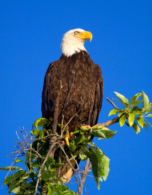 Bald Eagle  (Haliaeetus leucocephalus)     Photo #: 0389