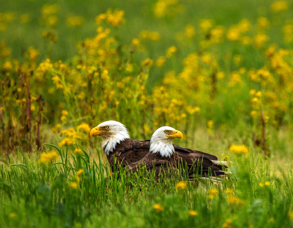 Bald Eagle Pair.     Photo #: 5474
