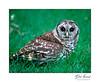 Barred Owl (Strix varia)