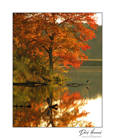 Autumn trees & blue heron