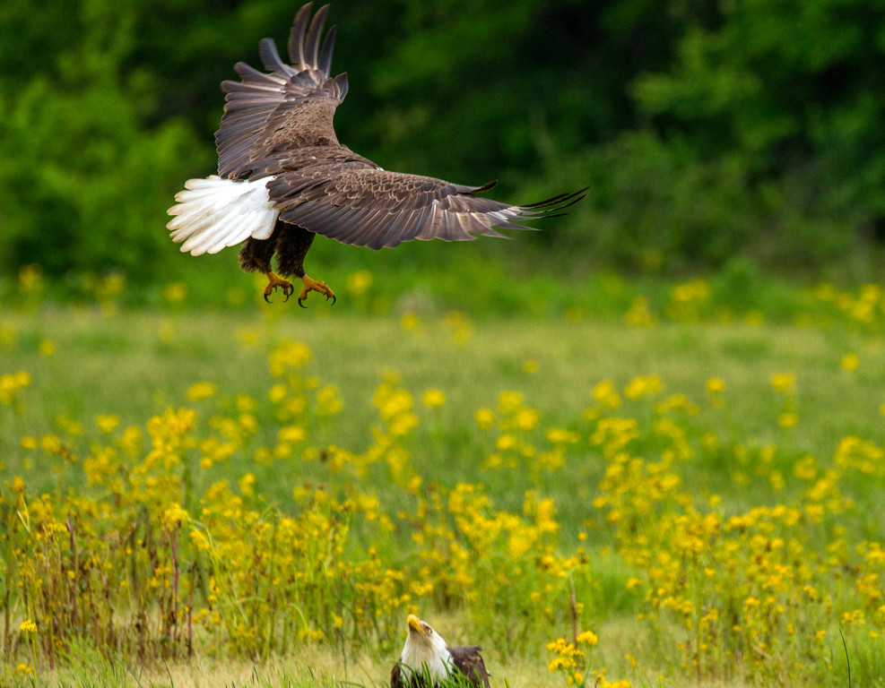 Bald Eagles     Photo #: 5458
