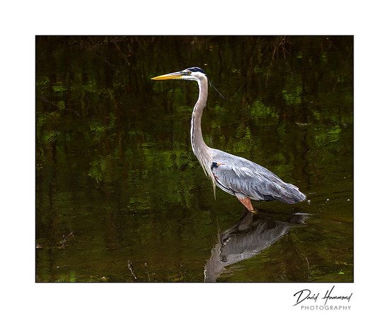 Great Blue Heron ( Ardea herodias )