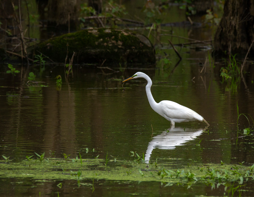 Great Egret (Ardea alba)     Photo #: 4826