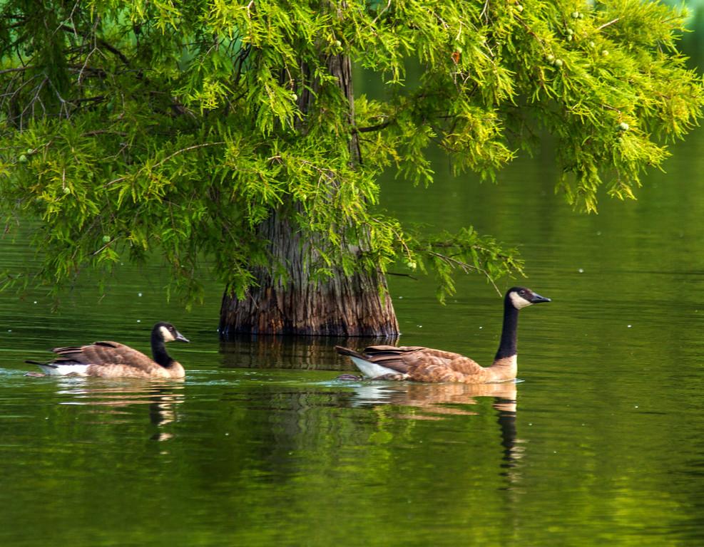 Canada Geese (Branta canadensis)  Photo #: 5855