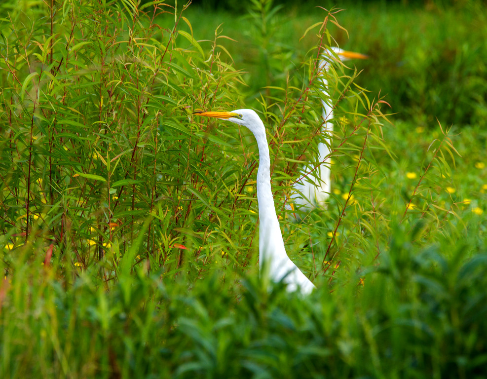 Great Egrets (Ardea alba)     Photo #: 5540