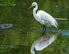 Great Egret (Ardea alba)     Photo #: 5217