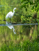 Great Egret (Ardea alba)     Photo #: 0843