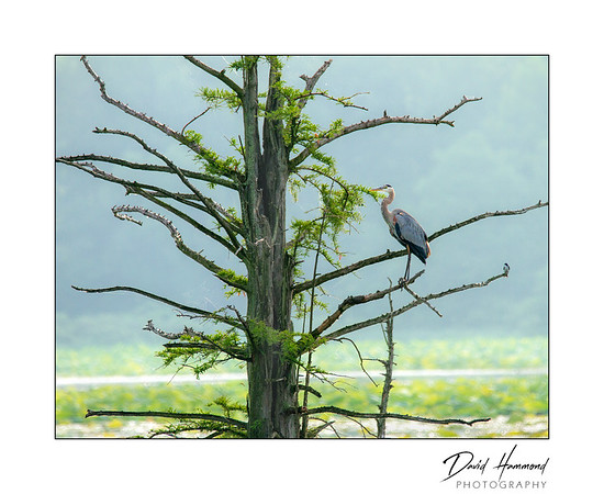 Blue Heron in Cypress tree