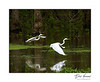 Great Egrets in flight