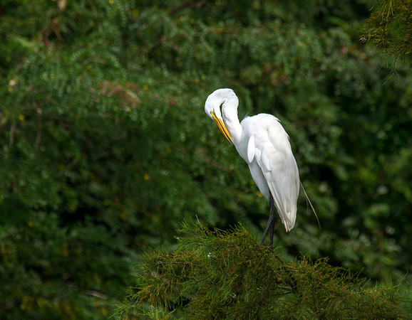 Great Egret Preening.     Photo #: 5749