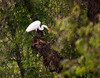 Great Egret (Ardea alba)     Photo #: 6073