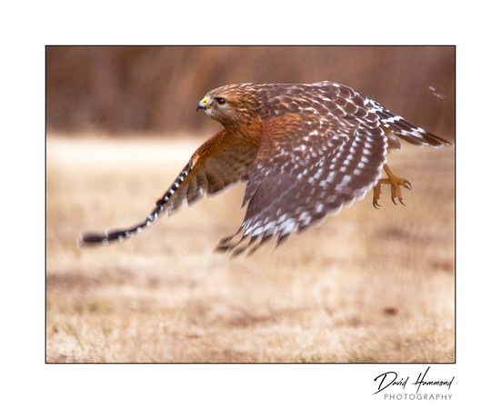 Red-shoulder Hawk in flight