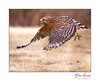 Red-shoulder Hawk in flight
