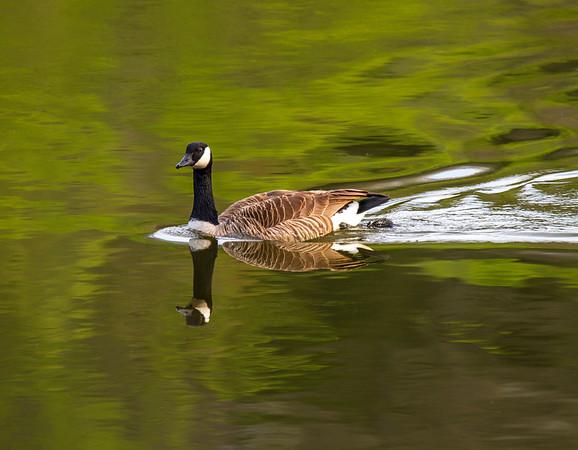 Canada Goose (Branta Canadensis)    Photo #: 3917