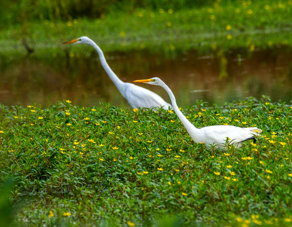 Great Egrets (Ardea alba)     Photo #: 5514