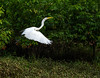 Great Egret in Flight     Photo #: 5699
