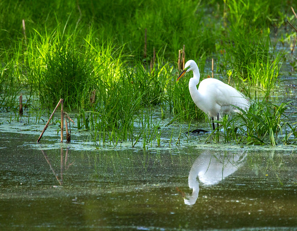 Great Egret (Ardea alba)     Photo #: 5204