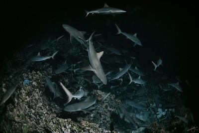 Meute de requins