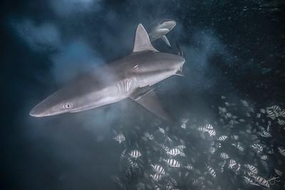 Requins gris & chirurgiens bagnards