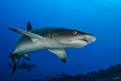 Requin corail