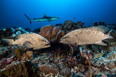 Loches marbrées & requin gris