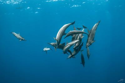 Dauphins long bec & grand dauphin