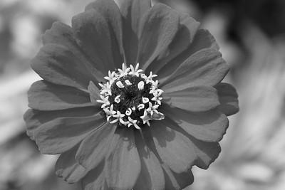 Zinnia in Bloom