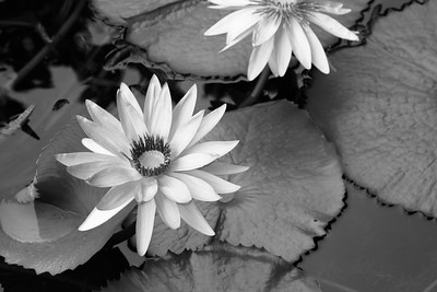 Pair of Water Lilies Among Lily Pads