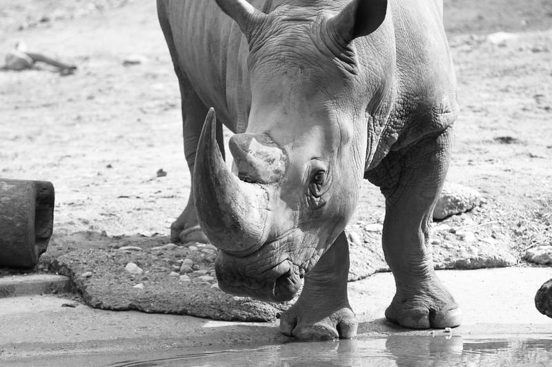 White Rhino Getting Water