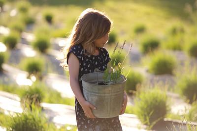 Lavender Farm  613