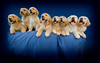 Puppies H 4719 copy