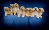 Puppies H 4719 copy