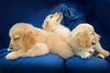 Puppies C 4922 copy