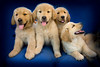 Puppies F 4662 copy