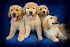 Puppies F 4662 copy