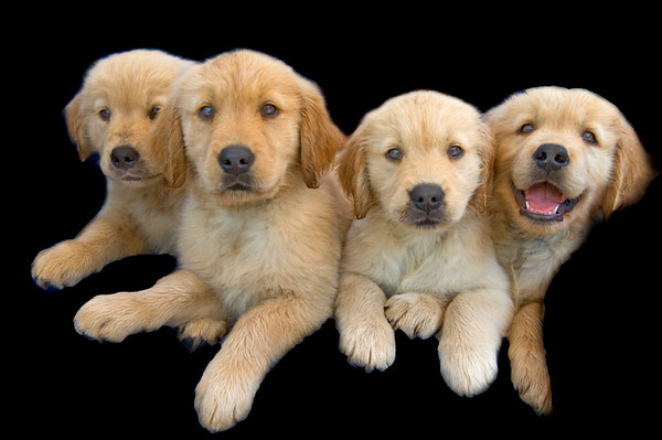Puppies A 4654 copy