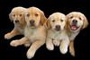 Puppies A 4654 copy