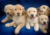 Puppies G 4658 copy