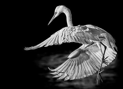 DIGITAL-MONO-MASTER-1ST PLACE-GREAT WHITE EGRET-CAROL FELDHAUSER