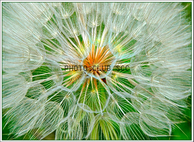 DIGITAL-COLOR-LEVEL 2-2ND PLACE-GOAT'S BEARD-JOHN LAMPKIN