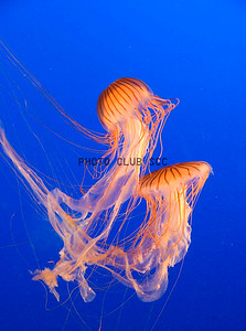 DIGITAL-COLOR-LEVEL 2- 2ND PLACE-JELLYFISH-ROBERT TRIVUS