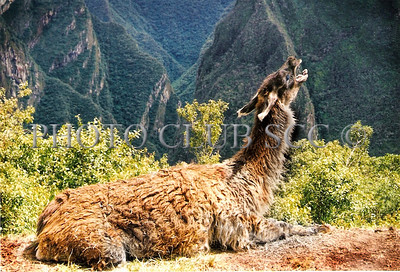 DIGITAL COLOR - LEVEL 1 - 2ND. PLACE - LLAMA GROWLING - ERICA COLLINS