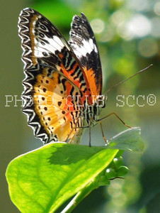 DIGITAL - COLOR - ADVANCED - SILVER - SUNNING BUTTERFLY - KATHY VITALE