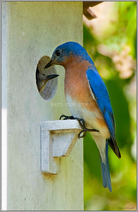 PRINT - COLOR - MASTER - SILVER - BLUEBIRDS AT HOME - ROBERT WINCH