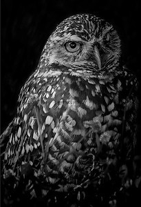 PRINTS-MONO-MASTER-SILVER-BURROWING OWL OF SOUTH FLORIDA-JACKIE HANSON